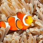 Ikan Badut - Clown Fish - Nemo