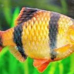 Ikan Sumatera - Puntigrus tetrazona